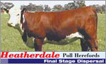 Heatherdale Poll Herefords