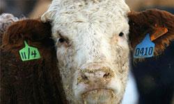 The Threat To Aussie Steak