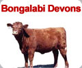 Bongalabi Devon Stud Special Offer