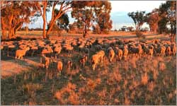 Mandatory pain relief for mulesing in Victoria looks set to become a reality