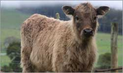 A beefalo? What's a beefalo? A beefalo! Why, didn't you know?