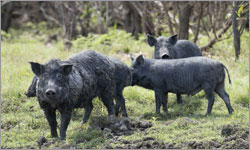 Feral pig cull needed, say farmers, to avoid spread of African Swine Fever