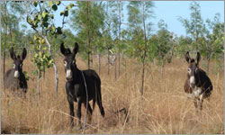 Has culling more than 500,000 feral donkeys in the Kimberley been worth it?