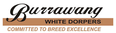 Burrawang White Dorpers