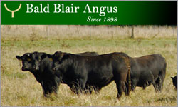 Featured Sale - Bald Blair Bull Sale - 2pm Tuesday 3rd August 2010