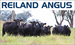 Reiland Angus Autumn Sale