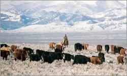 Australian Beef Herd