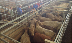 Angus Bull Sells For $26,500 At Auction