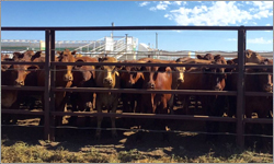 40,000 Cattle At Cloncurry Yards