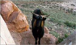 Growing Appetite For Goat Meat