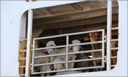Live export ship observers cost $1,300 a day