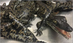 Crocodile industry's new international standards to keep farming sustainable